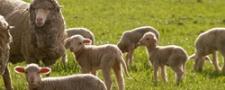 Internationaal onderzoek wijst op minder doorligwonden met nieuwe schapenvacht
